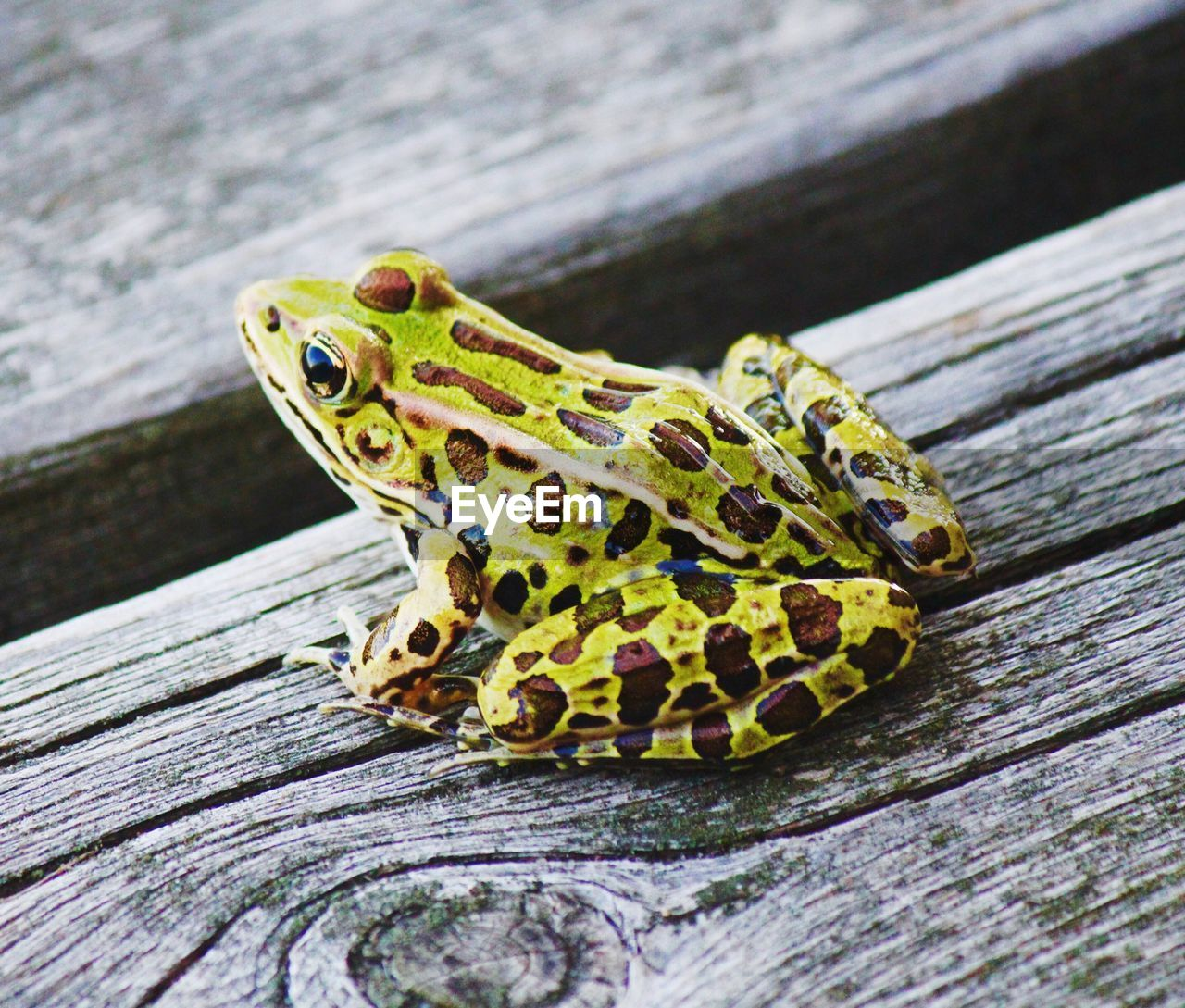 Close-up of green frog on wooden plank