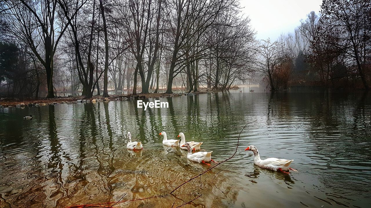 water, animal themes, lake, animals in the wild, bird, nature, tree, reflection, animal wildlife, waterfront, outdoors, day, swimming, no people, water bird, large group of animals, swan, beauty in nature, bare tree, goose, sky