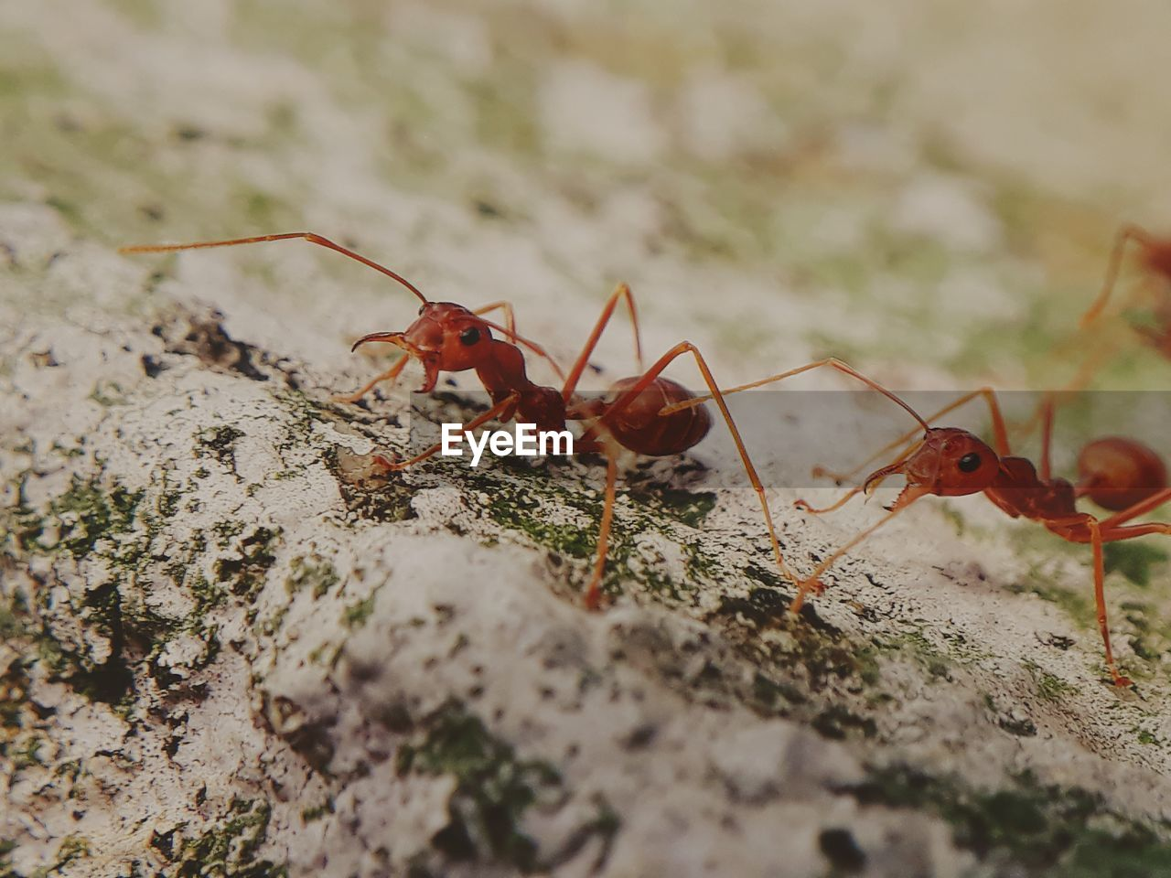 invertebrate, insect, animal themes, animal wildlife, animal, animals in the wild, selective focus, close-up, ant, no people, day, red, group of animals, nature, animal body part, zoology, outdoors, food, animal antenna