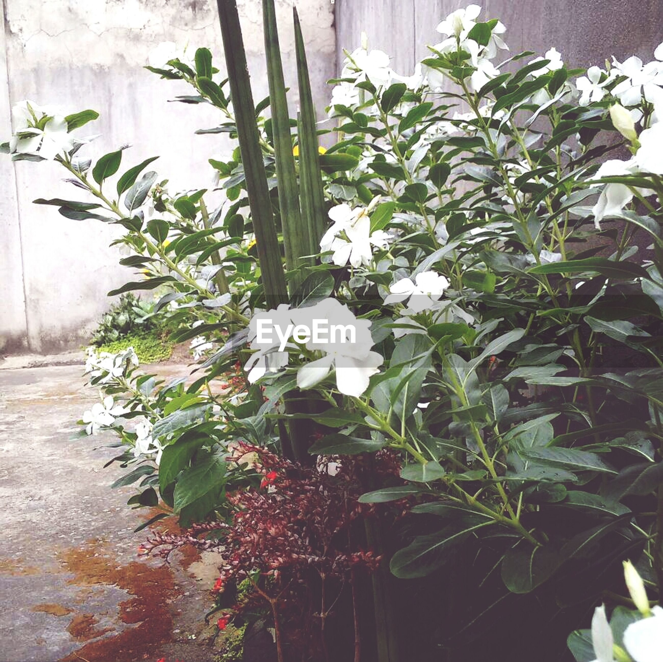 flower, plant, growth, potted plant, leaf, freshness, fragility, petal, white color, nature, wall - building feature, flower head, front or back yard, flower pot, green color, blooming, beauty in nature, close-up, growing, no people