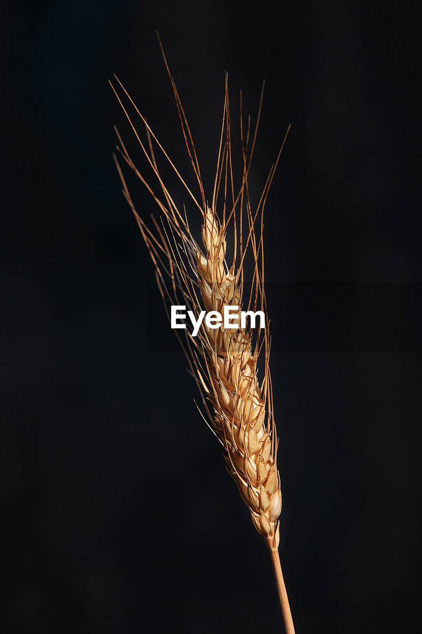 close-up, nature, studio shot, no people, black background, indoors, plant, crop, copy space, agriculture, cereal plant, growth, beauty in nature, food, food and drink, plant stem, illuminated, focus on foreground, ear of wheat