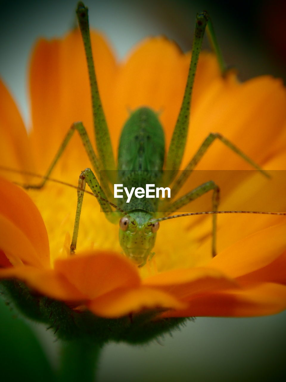 close-up, one animal, insect, animal wildlife, plant, invertebrate, animal themes, animals in the wild, animal, nature, flower, no people, flowering plant, growth, grasshopper, animal body part, freshness, beauty in nature, selective focus, green color, flower head, animal eye