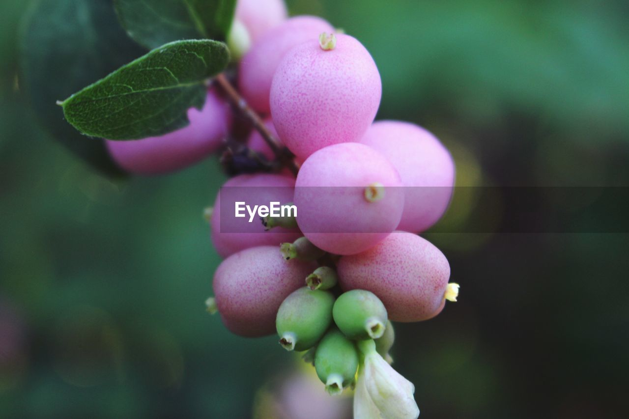 growth, plant, focus on foreground, pink color, fruit, no people, nature, close-up, food and drink, green color, outdoors, day, beauty in nature, leaf, freshness
