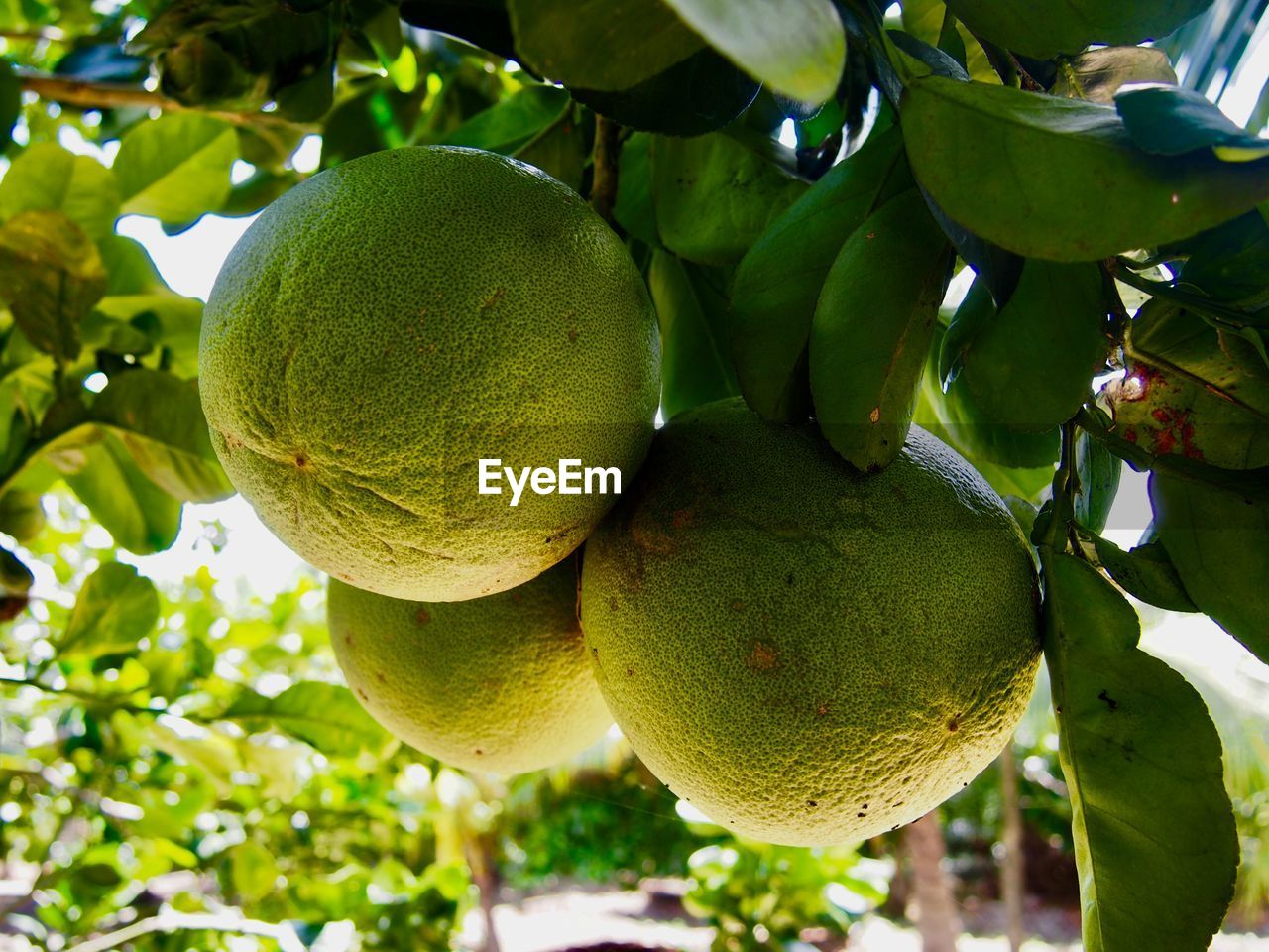 fruit, healthy eating, food and drink, food, freshness, wellbeing, green color, plant, growth, tree, focus on foreground, close-up, hanging, nature, no people, leaf, day, plant part, low angle view, fruit tree, outdoors, ripe