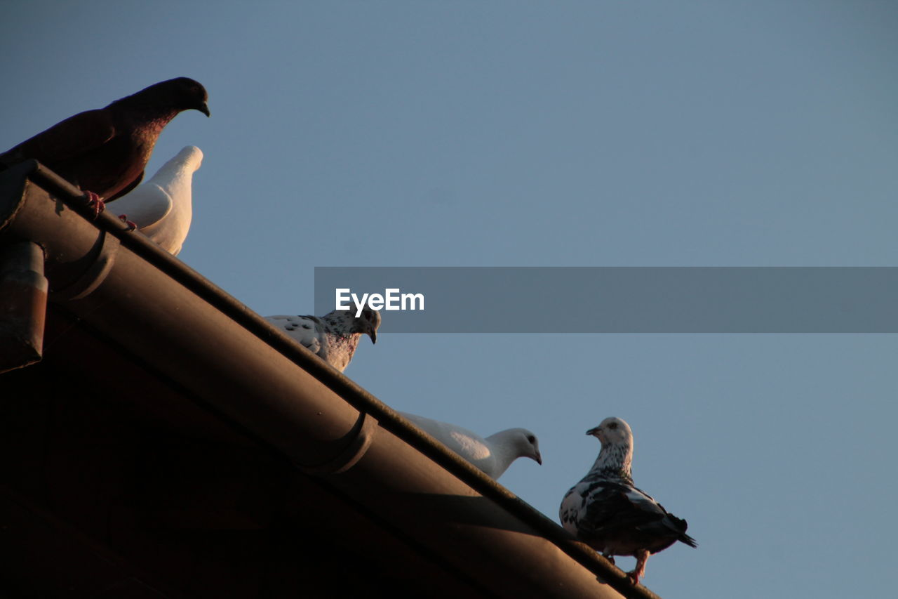 Low Angle View Of Birds Perching On Roof Gutter Against Clear Sky