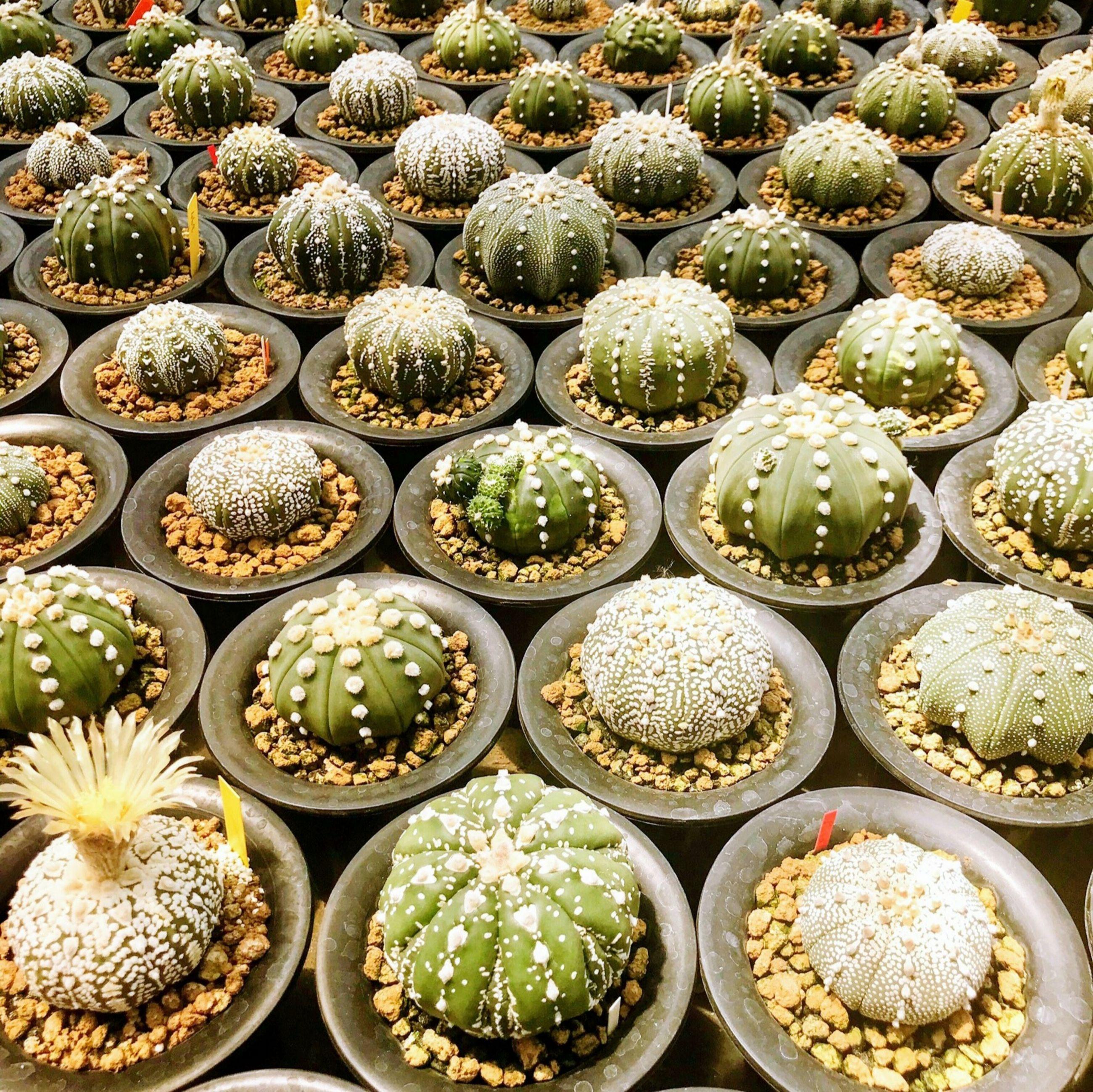 Full frame shot of succulent plants for sale