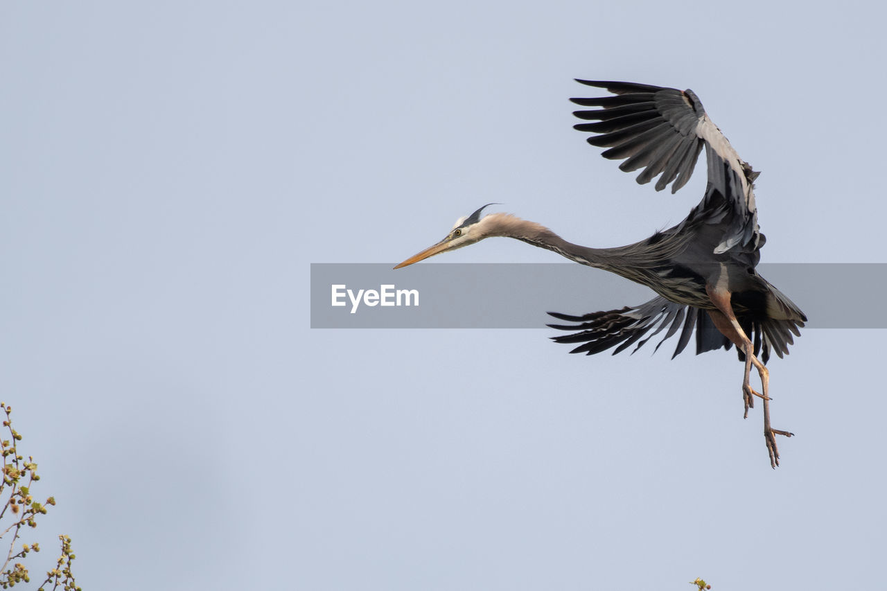 flying, animals in the wild, animal themes, animal wildlife, bird, animal, vertebrate, spread wings, one animal, sky, mid-air, low angle view, clear sky, motion, no people, nature, copy space, day, outdoors, beauty in nature, eagle