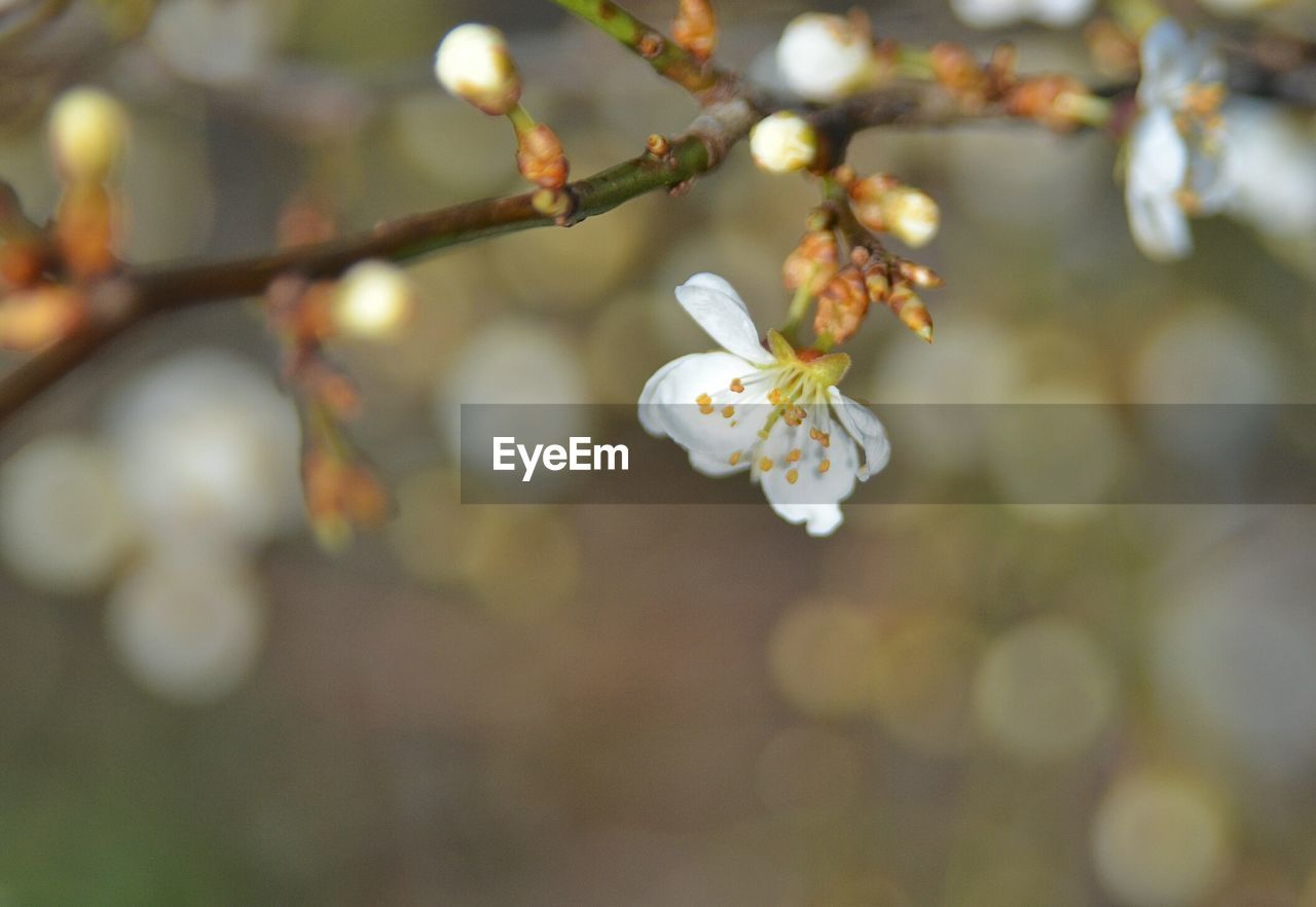 flower, fragility, beauty in nature, growth, nature, tree, white color, branch, twig, freshness, blossom, petal, springtime, no people, day, focus on foreground, close-up, outdoors, plum blossom, flower head