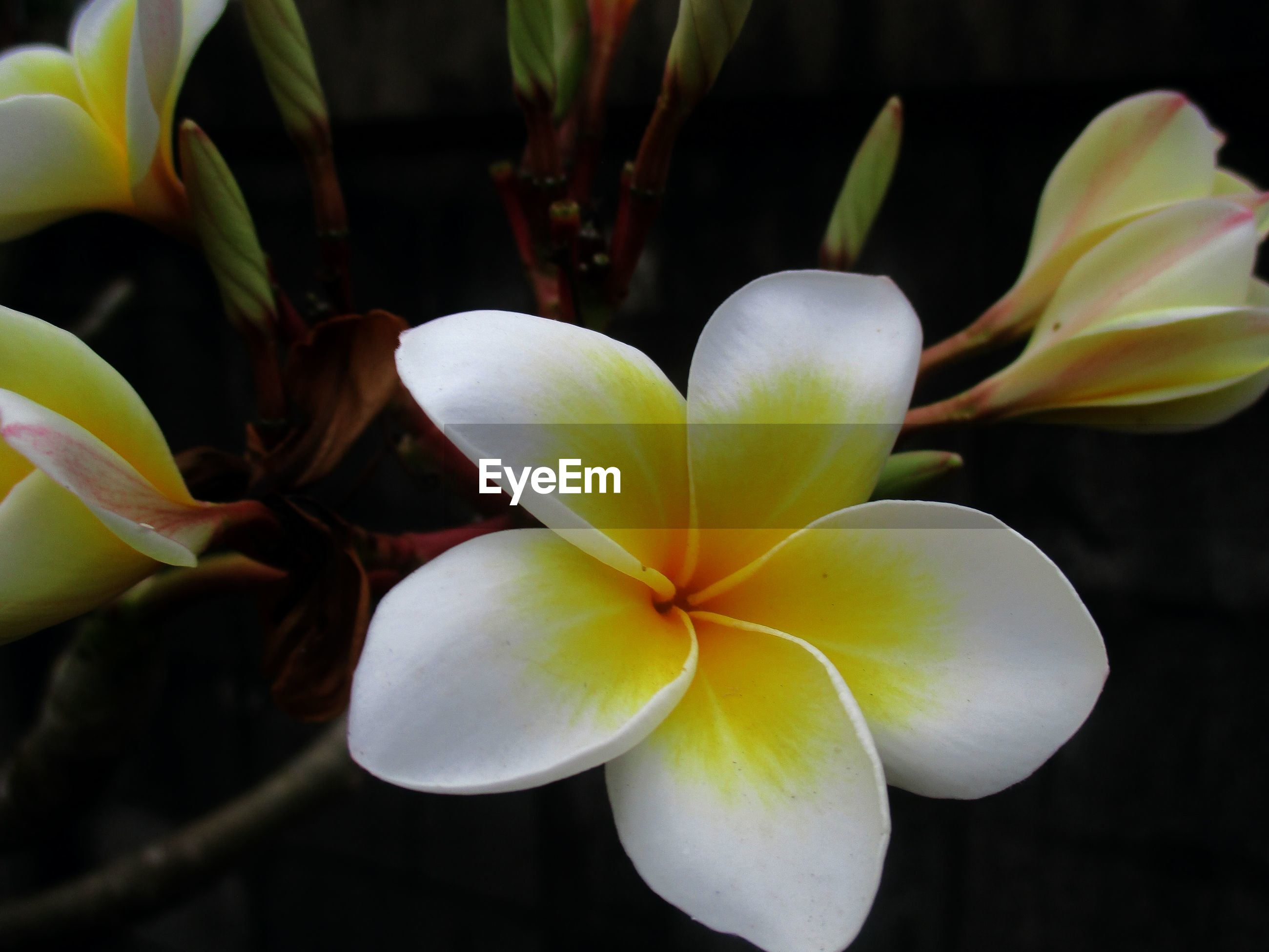 CLOSE-UP OF FRANGIPANI FLOWERS BLOOMING