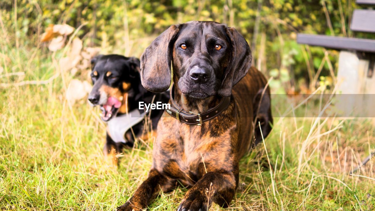 dog, canine, domestic animals, pets, domestic, mammal, animal themes, animal, one animal, grass, plant, vertebrate, field, portrait, nature, focus on foreground, looking at camera, black color, land, no people, animal head