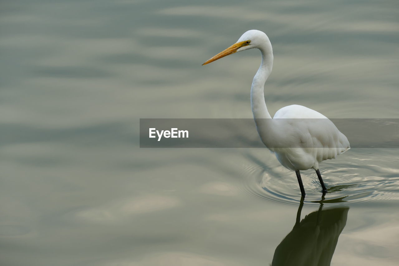 White Egret In Lake