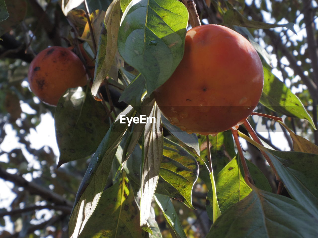 fruit, healthy eating, food, growth, food and drink, plant, leaf, plant part, wellbeing, freshness, tree, no people, nature, close-up, day, focus on foreground, sunlight, fruit tree, beauty in nature, outdoors, ripe