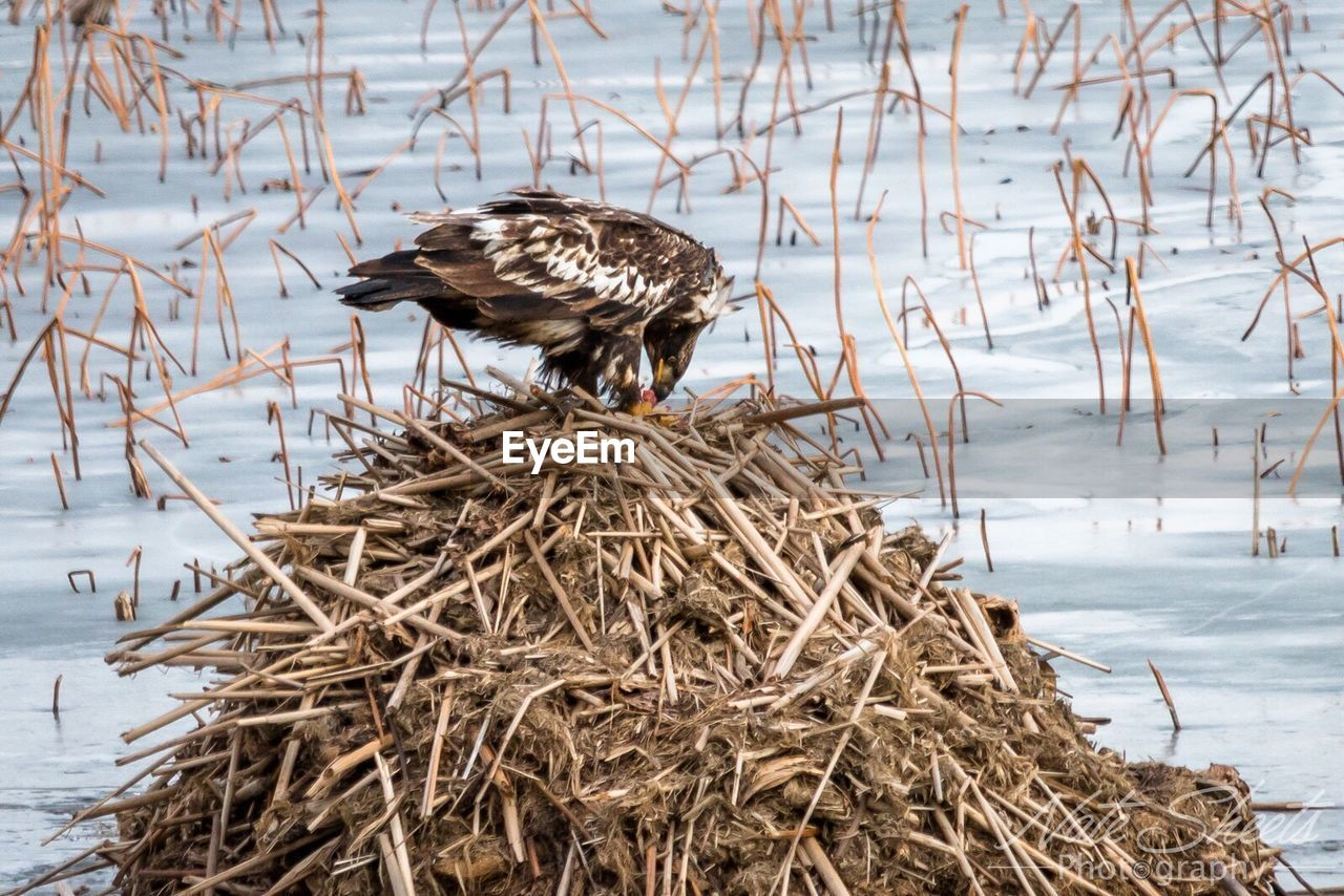 animals in the wild, animal themes, nature, bird, day, hay, animal wildlife, outdoors, no people, one animal, bird nest, beauty in nature, close-up