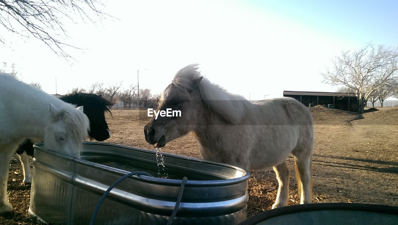 Horses Drinking Water From Metallic Container