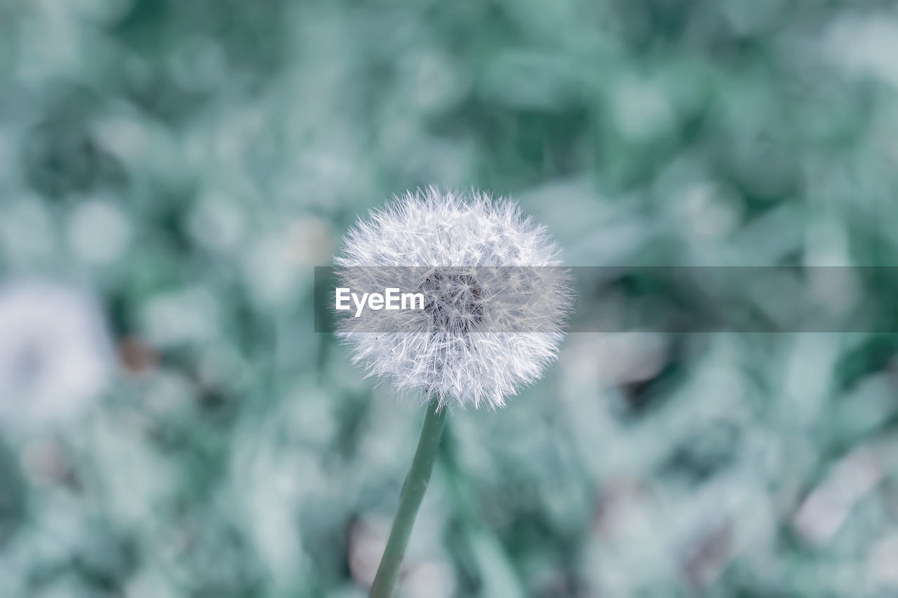 flower, flowering plant, plant, fragility, vulnerability, freshness, beauty in nature, close-up, focus on foreground, dandelion, growth, flower head, inflorescence, nature, day, no people, white color, softness, outdoors, dandelion seed
