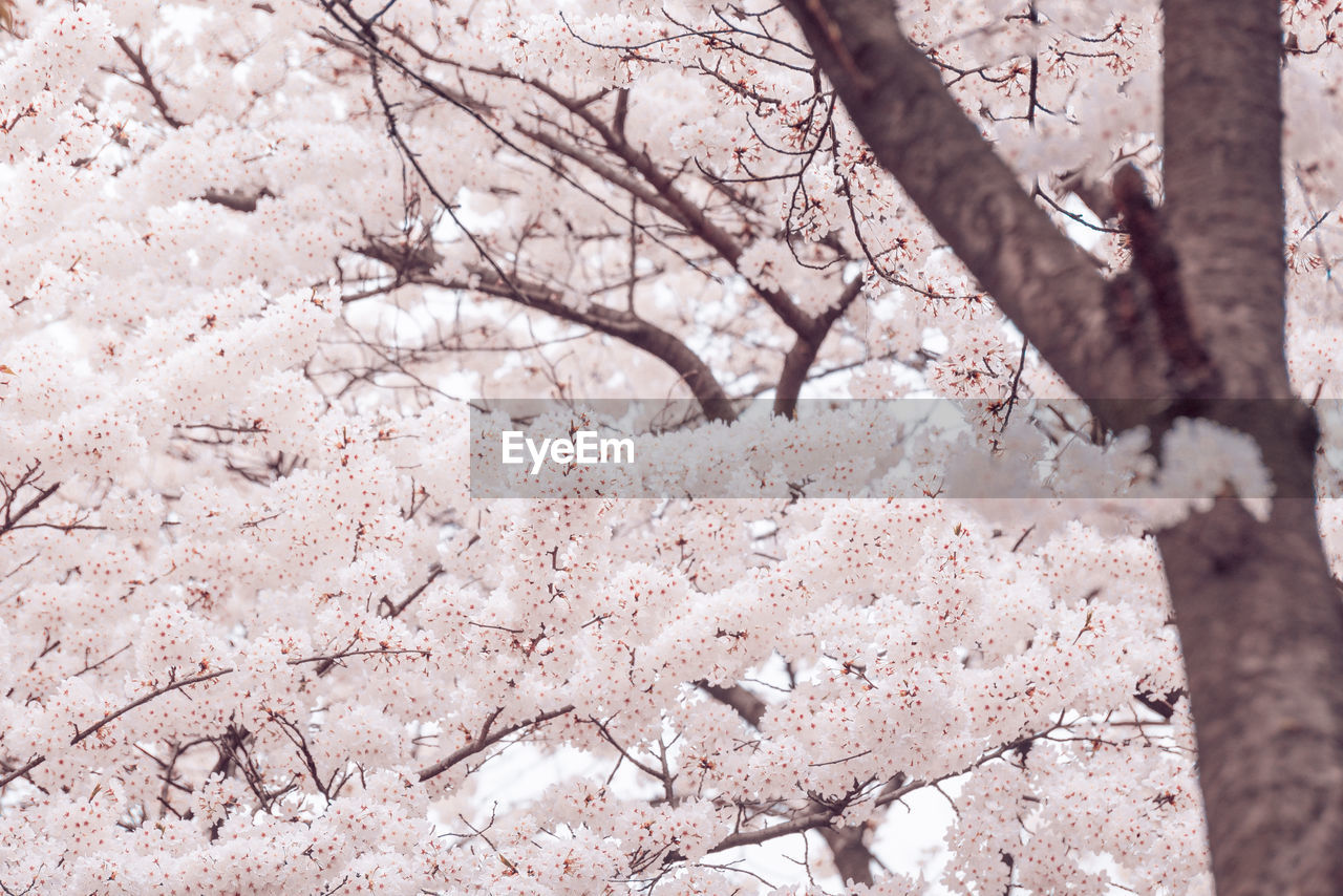 tree, plant, branch, blossom, flower, beauty in nature, day, flowering plant, nature, cherry blossom, growth, springtime, no people, fragility, close-up, vulnerability, freshness, pink color, outdoors, low angle view, cherry tree