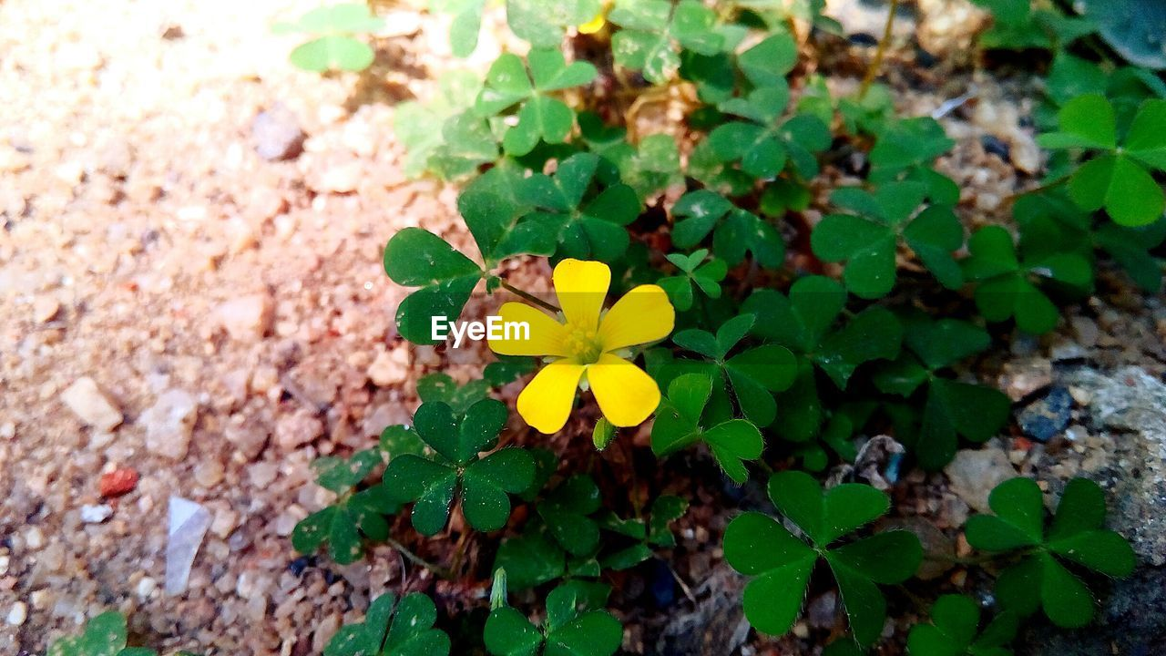 Directly above shot of yellow flower blooming on field