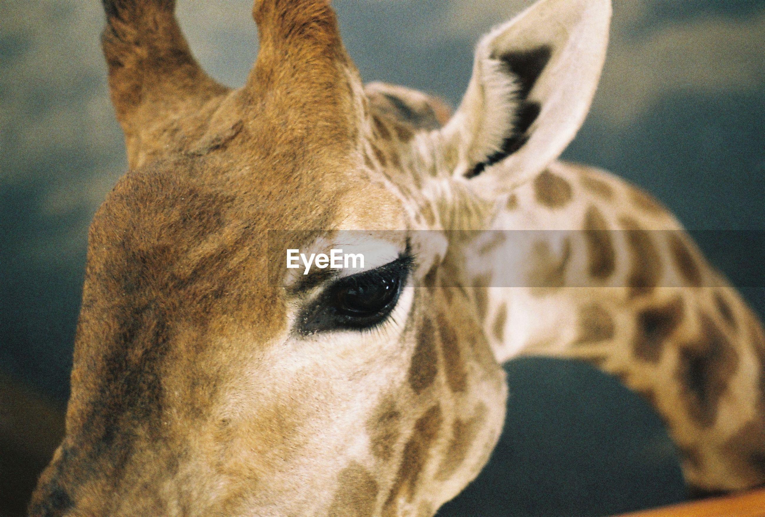 Close-up portrait of giraffe