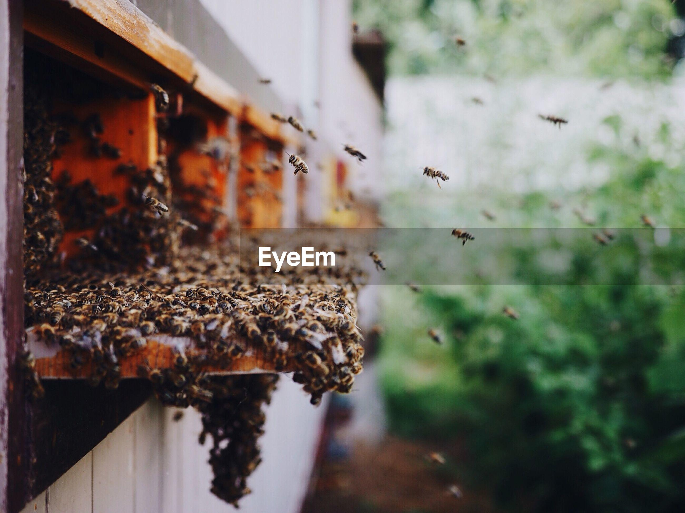 Honey bees flying around beehive