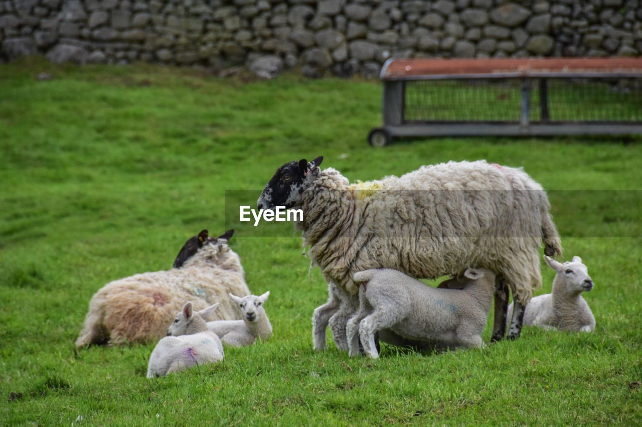 grass, mammal, group of animals, animal, animal themes, plant, domestic animals, livestock, domestic, sheep, young animal, nature, pets, green color, vertebrate, land, field, no people, day, agriculture, animal family, outdoors, herbivorous