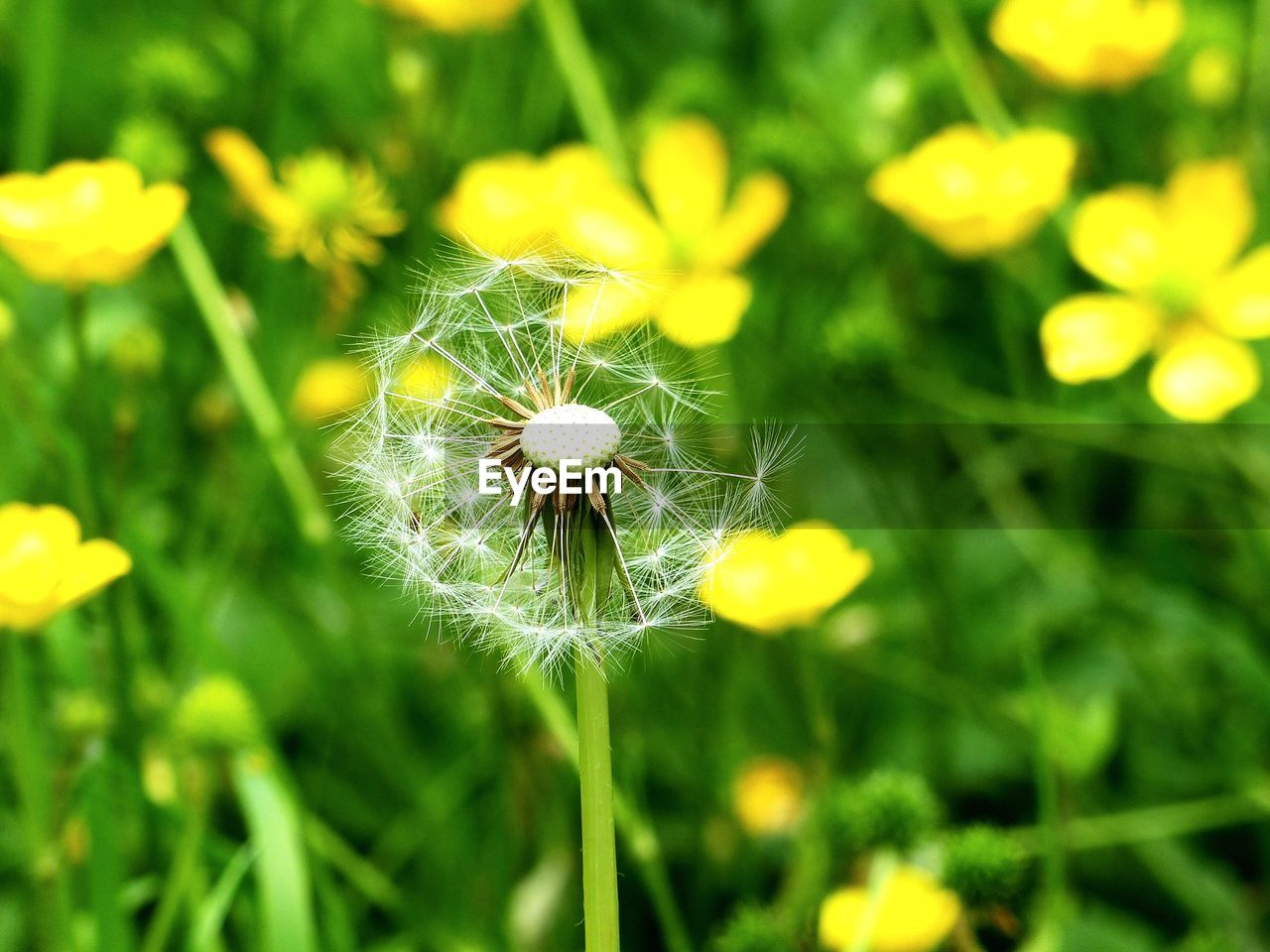 flower, dandelion, growth, nature, fragility, plant, beauty in nature, focus on foreground, close-up, freshness, outdoors, flower head, green color, wildflower, day, uncultivated, no people, yellow, blooming, grass