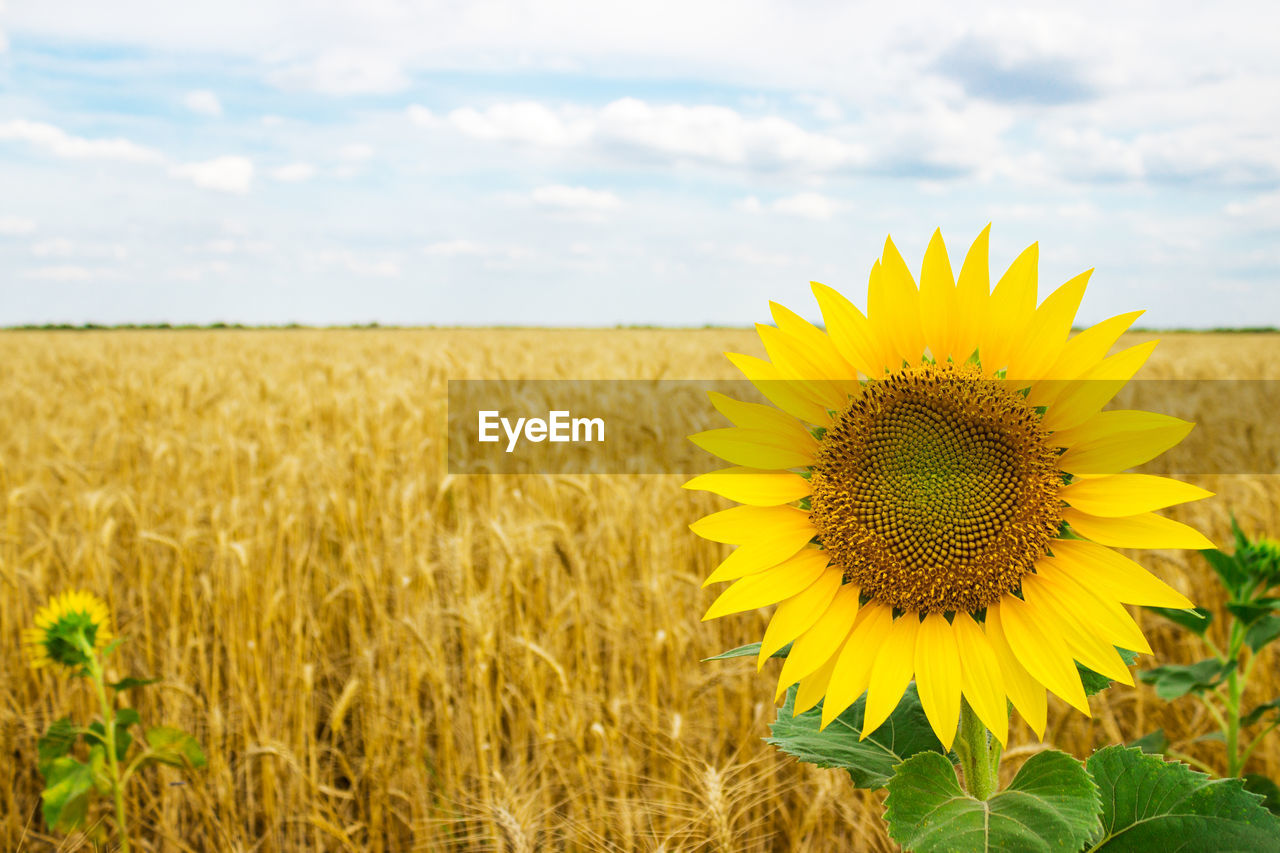 Sunflower growing on landscape against cloudy sky