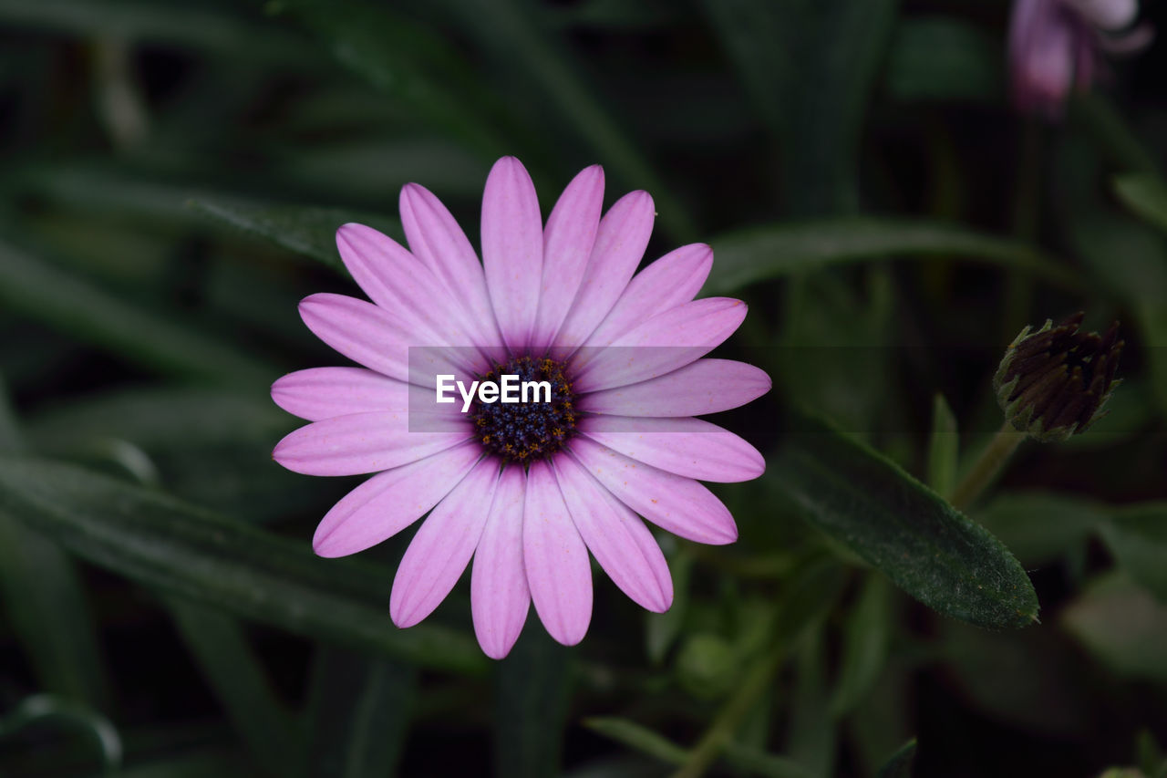 flower, petal, fragility, growth, nature, beauty in nature, freshness, plant, flower head, blooming, no people, purple, day, outdoors, osteospermum, close-up