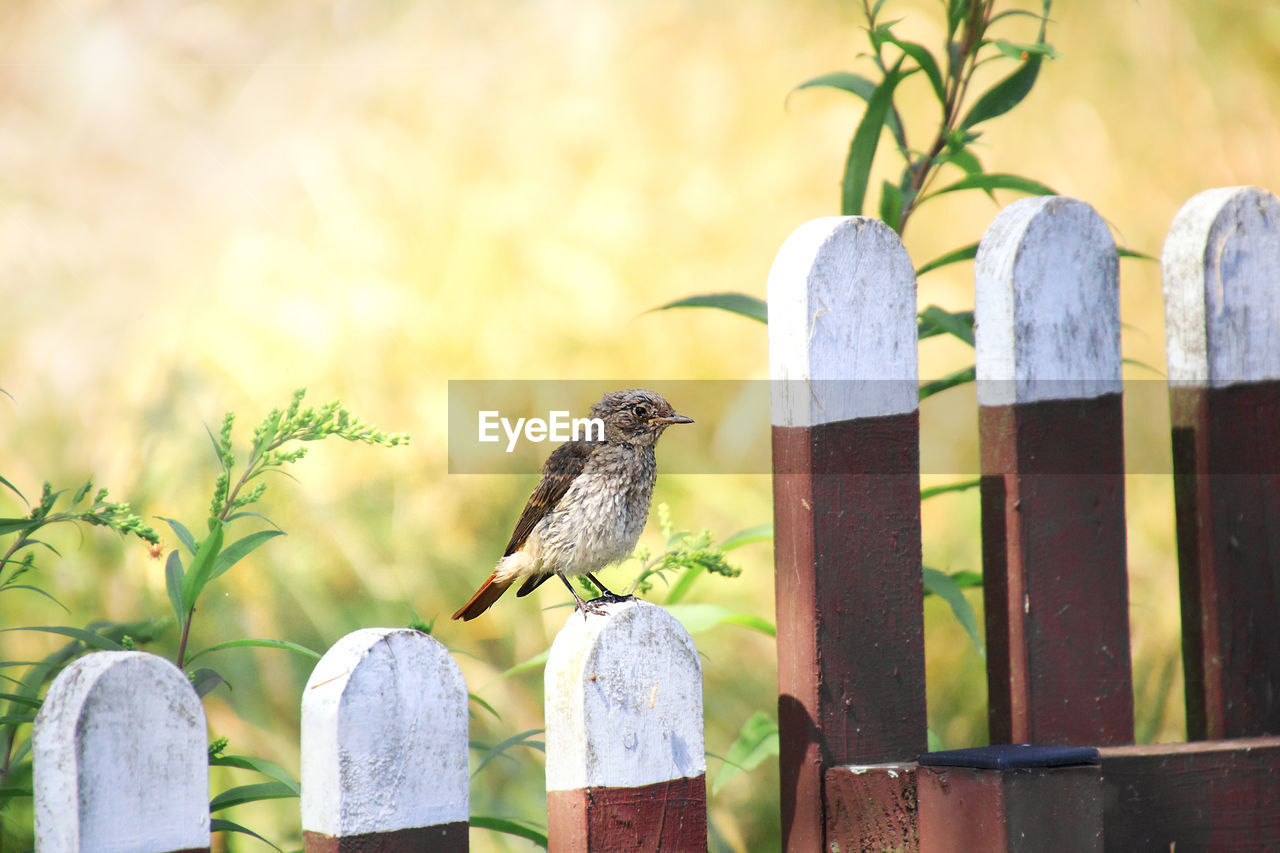 bird, vertebrate, animal themes, animal, animal wildlife, animals in the wild, perching, focus on foreground, one animal, wood - material, no people, post, fence, boundary, barrier, day, wooden post, nature, close-up, outdoors