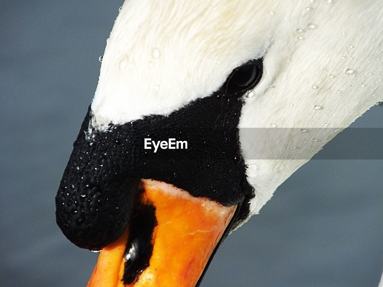 one animal, animal themes, animal, bird, animals in the wild, animal wildlife, close-up, vertebrate, beak, no people, swan, focus on foreground, white color, day, nature, animal body part, animal head, black color, water, animal neck, animal eye