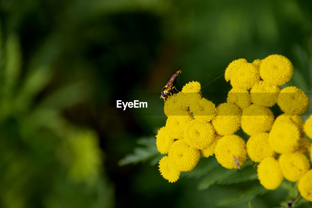 yellow, flower, animals in the wild, flowering plant, insect, animal wildlife, plant, invertebrate, animal themes, close-up, vulnerability, fragility, growth, one animal, animal, beauty in nature, flower head, green color, inflorescence, freshness, no people, pollination