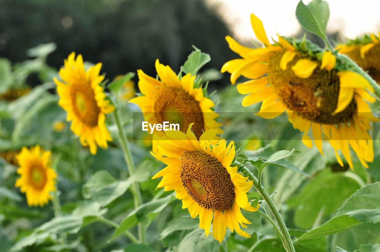 flower, yellow, flowering plant, plant, growth, fragility, flower head, vulnerability, freshness, beauty in nature, inflorescence, petal, close-up, nature, day, focus on foreground, no people, plant part, leaf, pollen, sunflower, outdoors, pollination