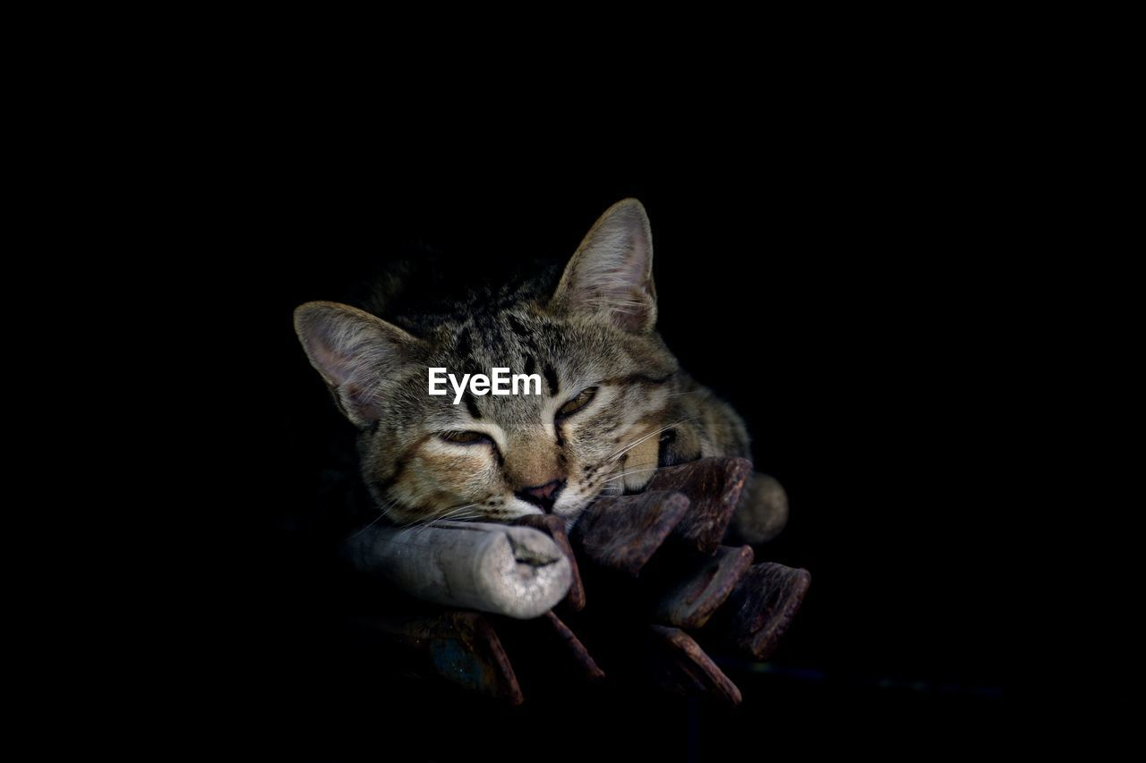 domestic animals, cat, domestic, pets, mammal, domestic cat, one animal, animal themes, animal, feline, copy space, vertebrate, eyes closed, studio shot, indoors, relaxation, no people, black background, sleeping, close-up, dark, animal head, whisker, tabby, animal eye