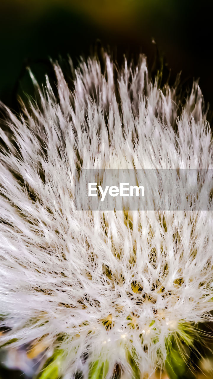 close-up, no people, beauty in nature, plant, growth, nature, white color, fragility, day, softness, selective focus, vulnerability, focus on foreground, outdoors, flower, freshness, sunlight, pattern, flowering plant, dandelion seed