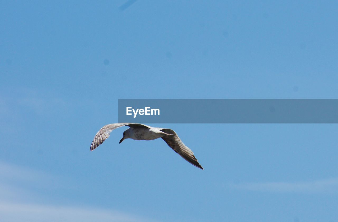 animals in the wild, animal wildlife, animal themes, vertebrate, bird, one animal, spread wings, animal, sky, flying, low angle view, mid-air, blue, no people, nature, copy space, seagull, day, motion, clear sky, outdoors