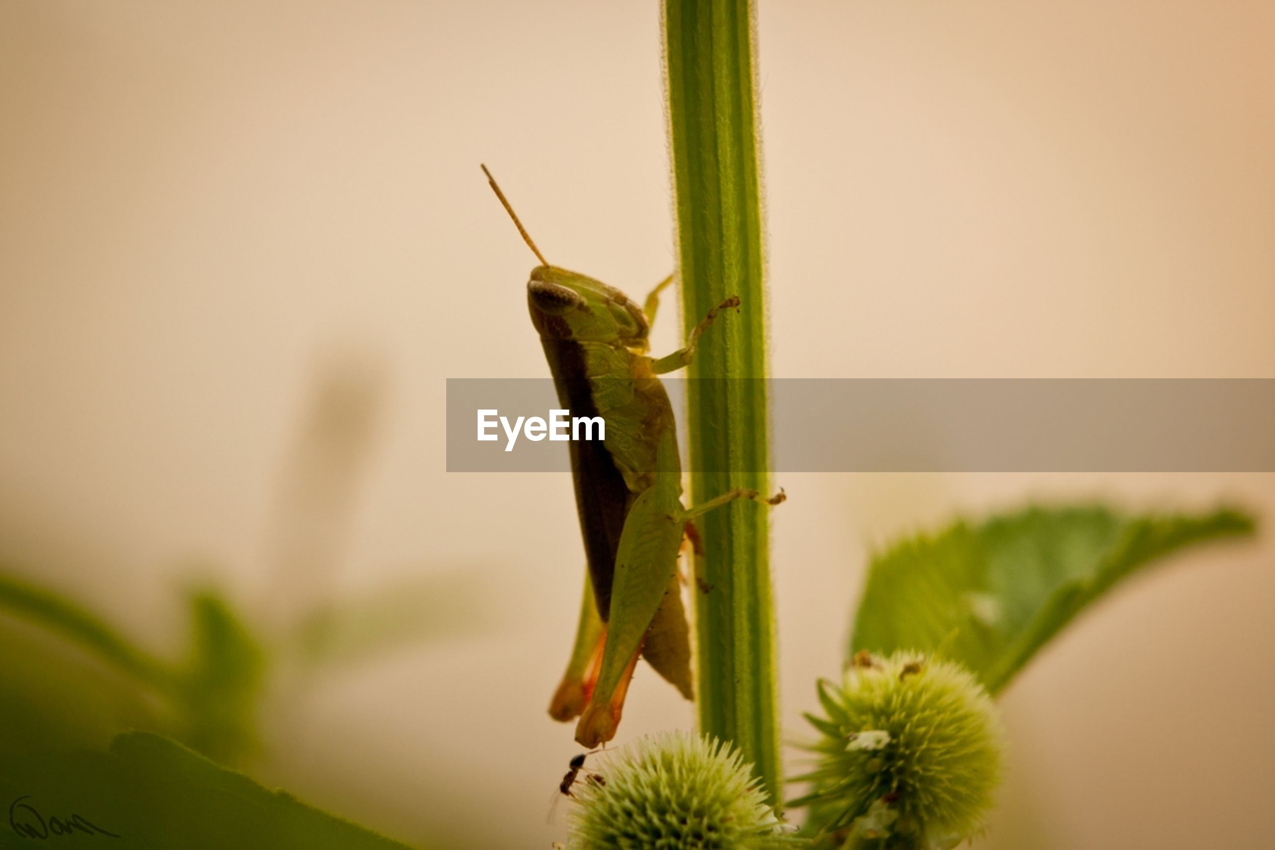 one animal, insect, animals in the wild, animal themes, wildlife, close-up, plant, focus on foreground, green color, grasshopper, selective focus, nature, dragonfly, stem, growth, leaf, day, outdoors, blade of grass, animal antenna