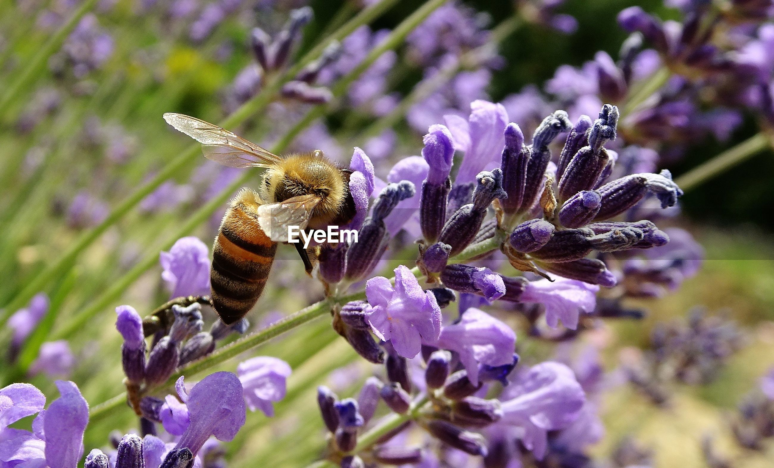 CLOSE-UP OF HONEY BEE ON PURPLE FLOWERS