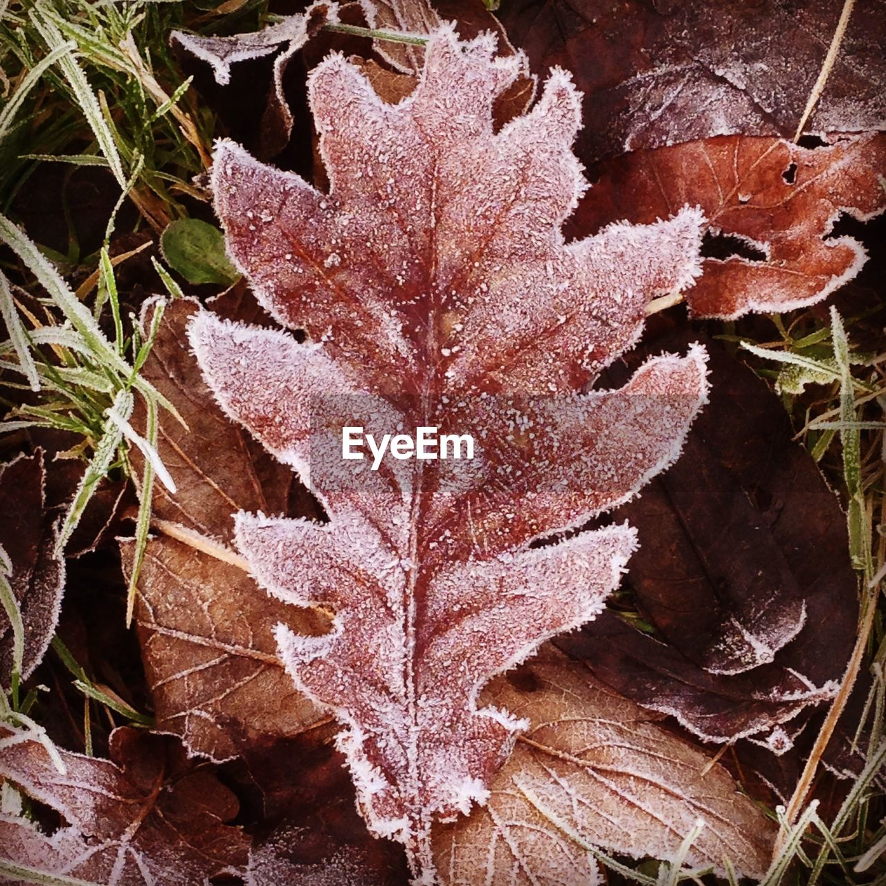 leaf, autumn, nature, cold temperature, dry, day, winter, no people, outdoors, weather, close-up, change, fragility, beauty in nature, frozen, maple, maple leaf