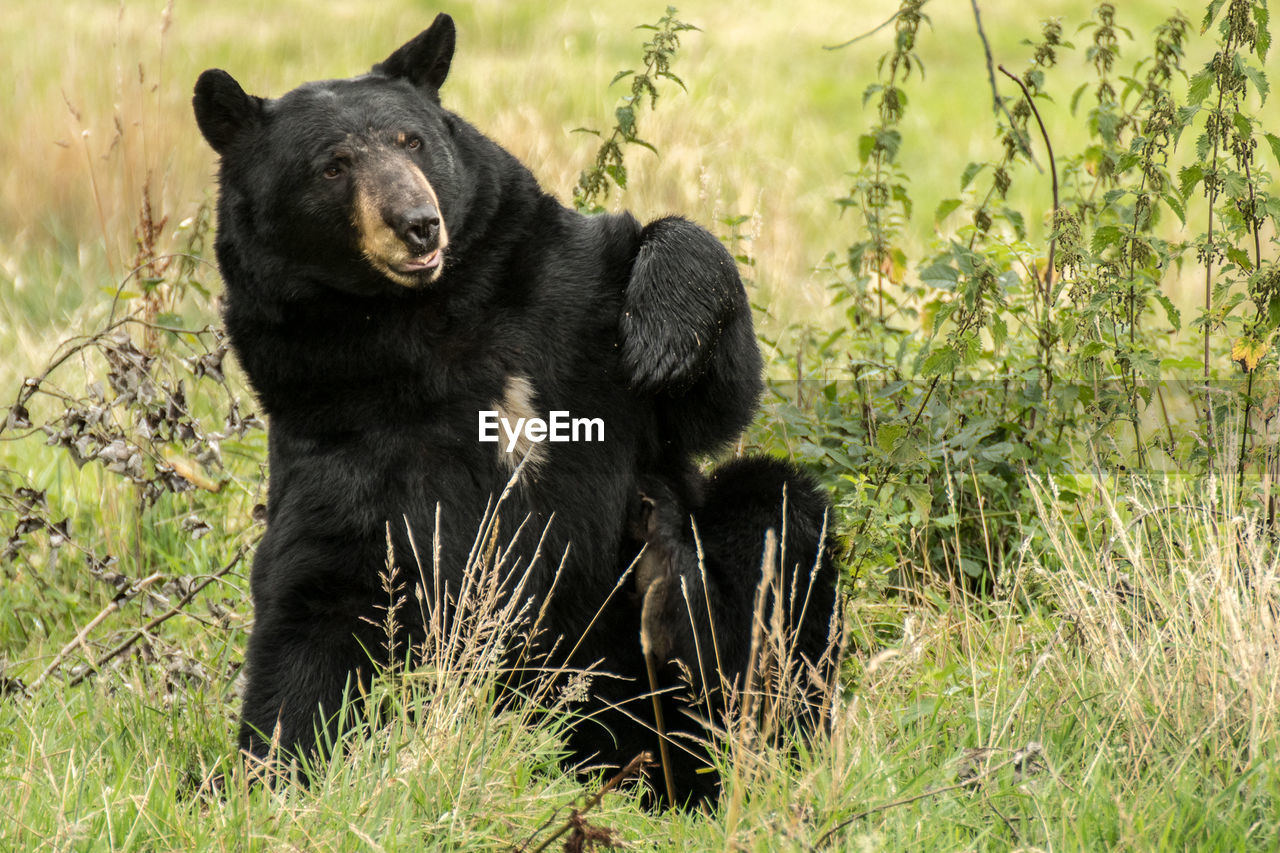 Bear Sitting On Grassy Field