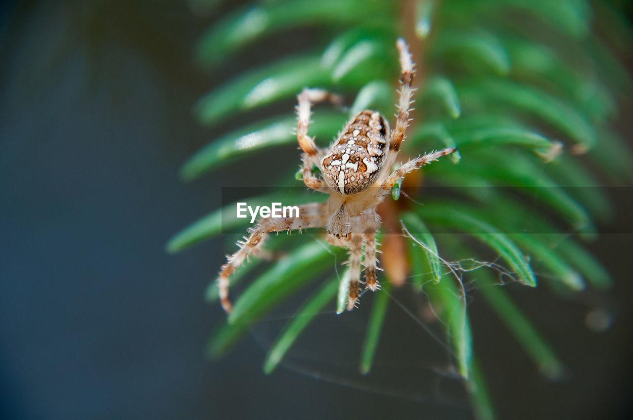 Macro Shot Of Spider On Web Over Pine Needle