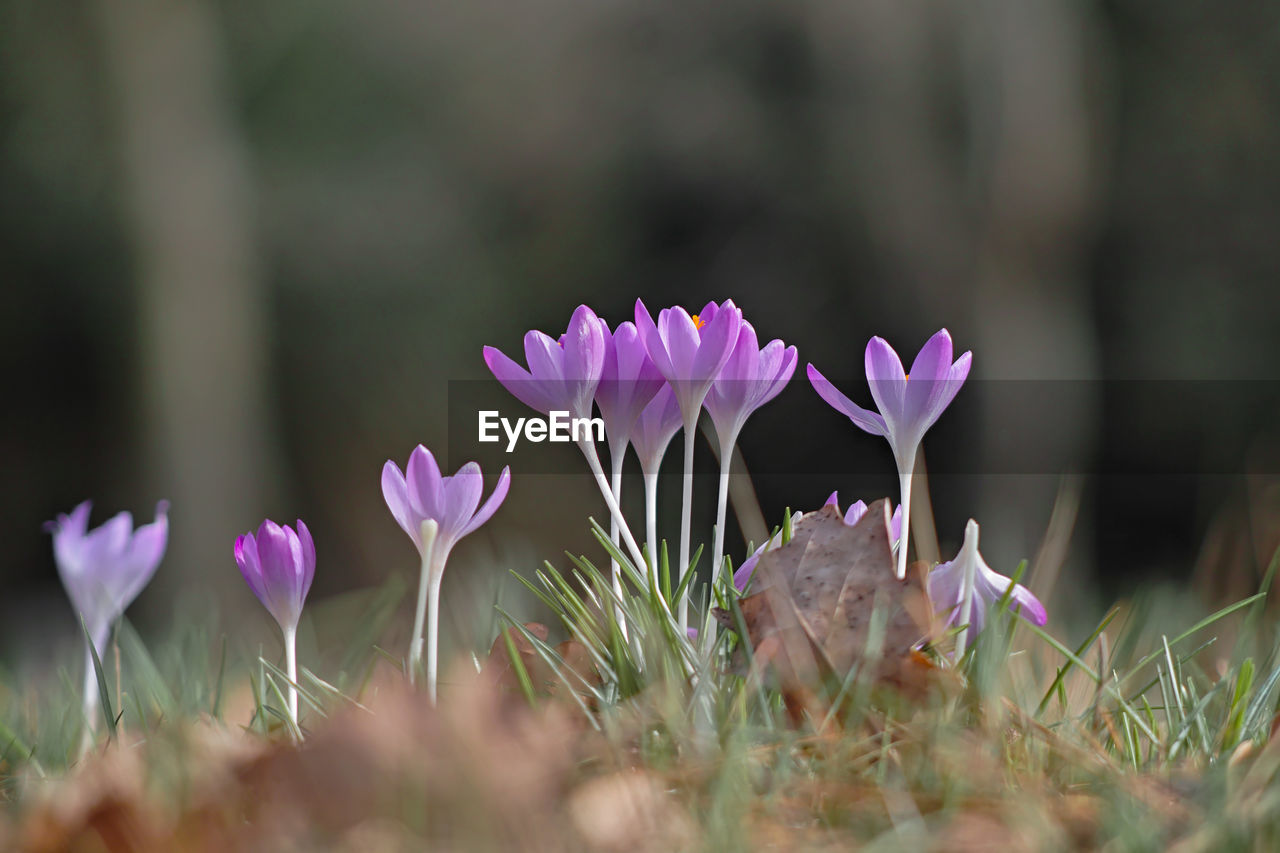 flower, flowering plant, freshness, plant, vulnerability, growth, fragility, beauty in nature, petal, land, close-up, flower head, nature, day, selective focus, pink color, field, no people, inflorescence, outdoors, purple, crocus, iris