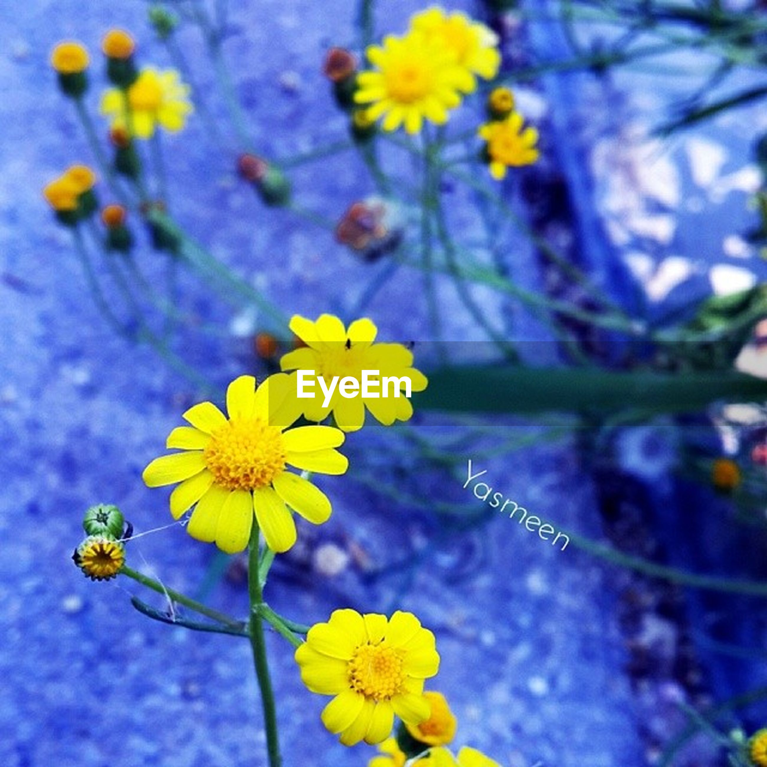 flower, yellow, freshness, fragility, petal, growth, flower head, beauty in nature, focus on foreground, close-up, blooming, nature, plant, blossom, in bloom, stem, selective focus, botany, springtime, outdoors