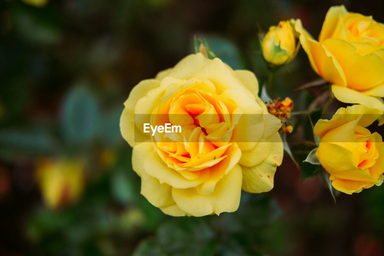 flower, petal, yellow, fragility, beauty in nature, flower head, nature, focus on foreground, freshness, no people, rose - flower, close-up, outdoors, plant, blooming, growth, day