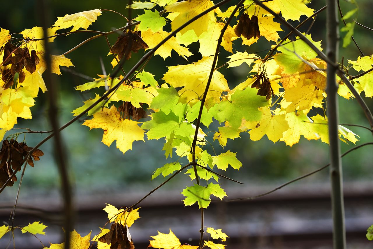 plant part, leaf, yellow, plant, growth, nature, autumn, close-up, beauty in nature, day, focus on foreground, change, no people, outdoors, tranquility, tree, branch, leaves, vulnerability, sunlight, maple leaf, natural condition