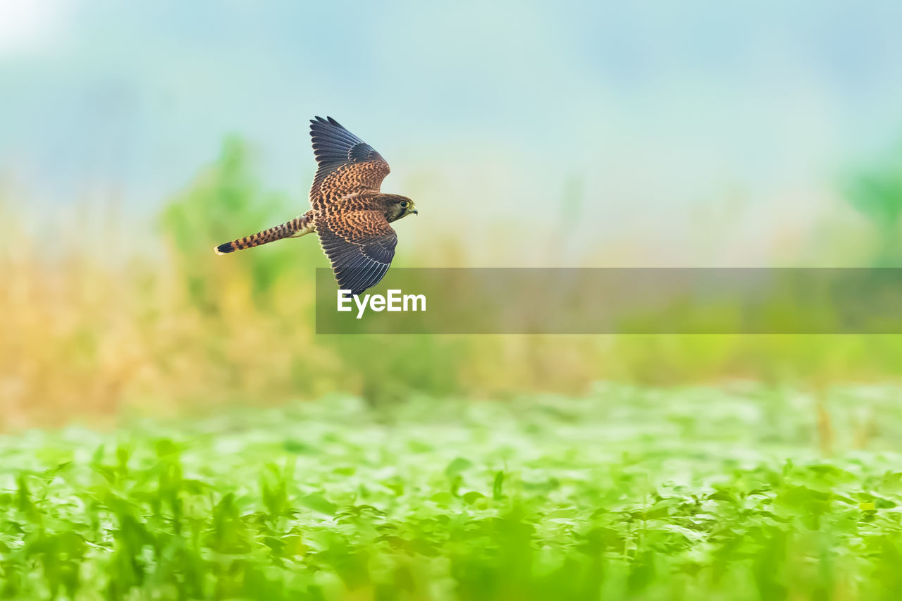 animals in the wild, vertebrate, animal themes, one animal, animal wildlife, plant, bird, animal, flying, green color, selective focus, nature, spread wings, field, beauty in nature, no people, day, land, mid-air, grass, outdoors