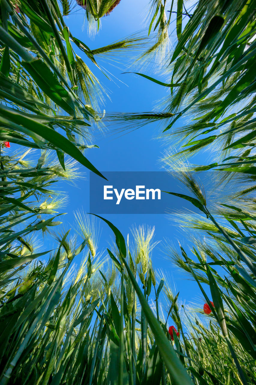 plant, growth, sky, beauty in nature, green color, nature, low angle view, day, no people, tranquility, blue, leaf, sunlight, clear sky, tree, outdoors, agriculture, plant part, close-up, cereal plant, palm leaf, plantation