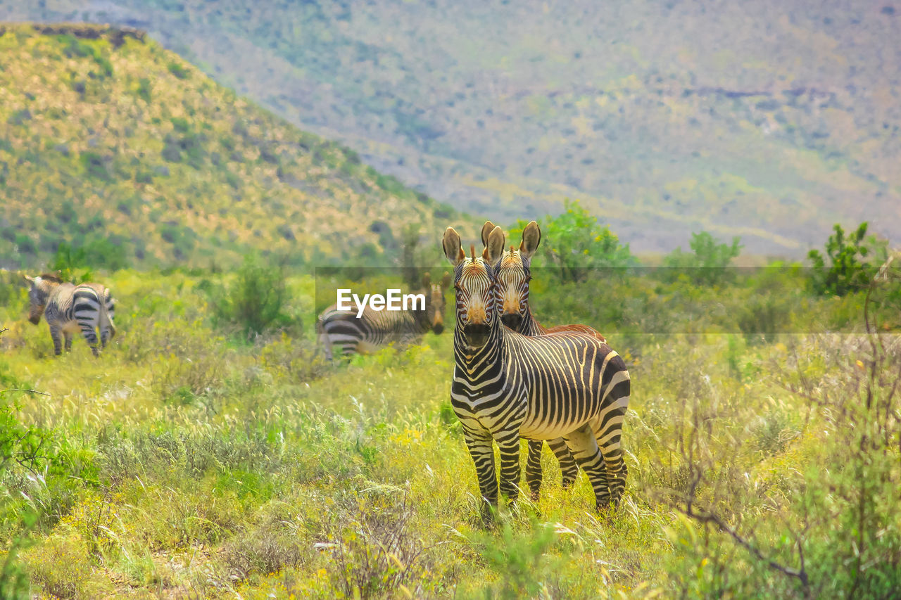 animals in the wild, animal wildlife, group of animals, animal, animal themes, plant, grass, field, mammal, striped, nature, zebra, vertebrate, land, safari, landscape, no people, day, tree, outdoors, herbivorous, herd, animal family