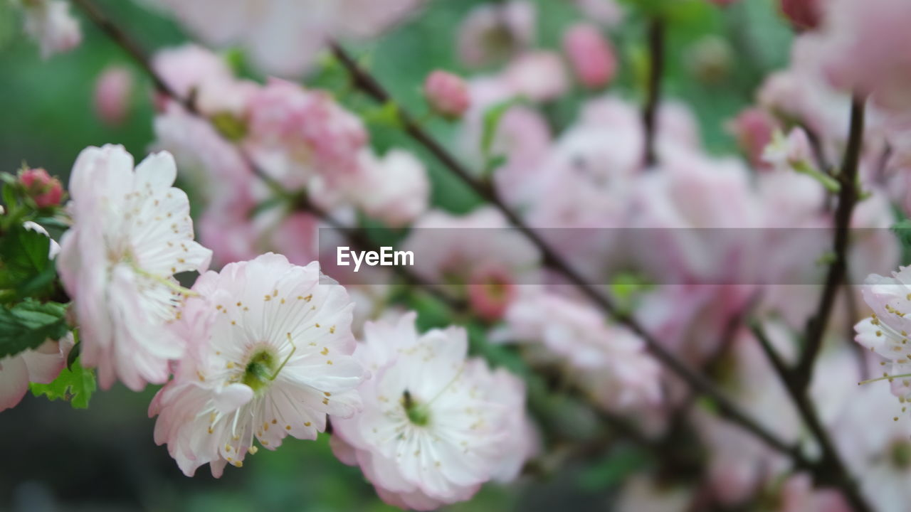 flower, flowering plant, fragility, freshness, vulnerability, beauty in nature, growth, plant, petal, blossom, close-up, inflorescence, pink color, flower head, springtime, tree, selective focus, nature, day, botany, no people, pollen, cherry blossom, outdoors, cherry tree, bunch of flowers, spring