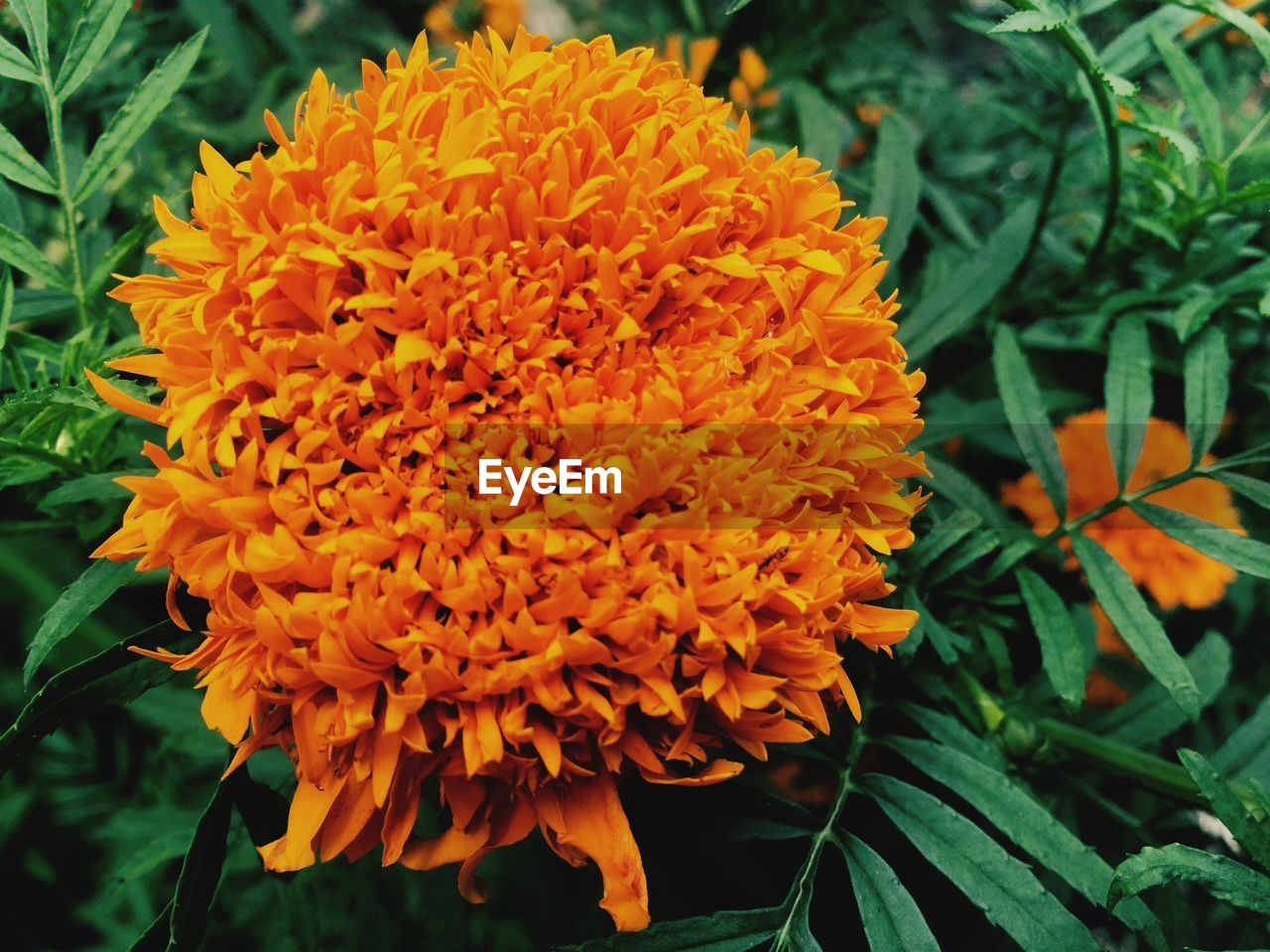 flower, beauty in nature, freshness, growth, fragility, petal, nature, orange color, flower head, close-up, plant, blooming, no people, outdoors, day, marigold
