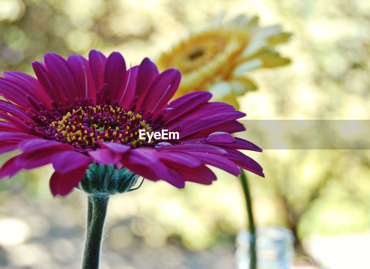 Close-up of purple gerbera daisy blooming in park
