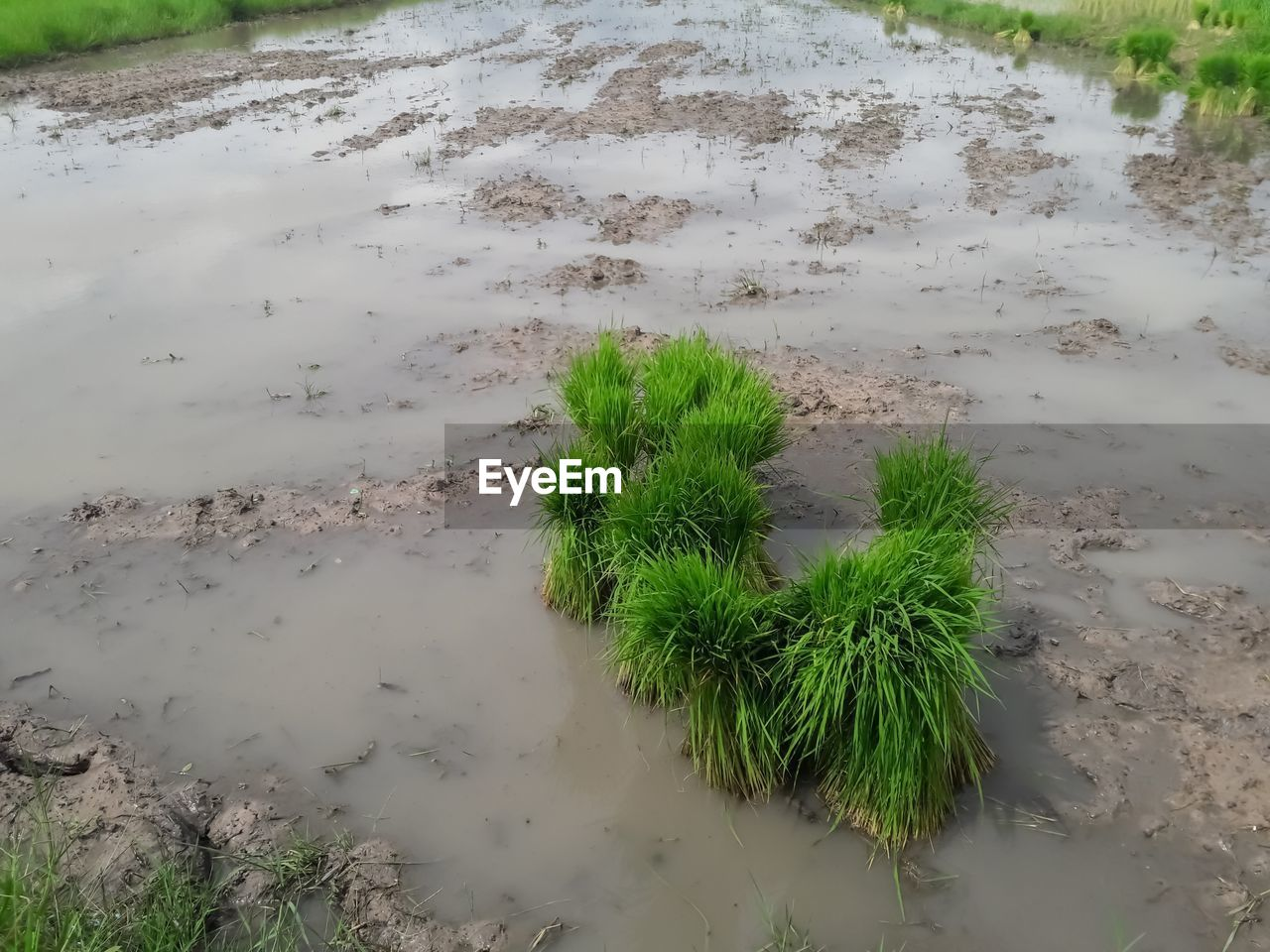 plant, growth, nature, day, green color, water, no people, high angle view, tranquility, land, outdoors, grass, beauty in nature, wet, field, scenics - nature, mud, tranquil scene, landscape